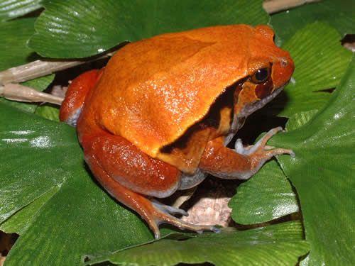 False tomato frog: Neat Amphibians, Reptiles Lizards, Lizards Frogs, God S Unique, Fun Frogs, Fantastic Frogs, Reptiles Amphibians, Animal