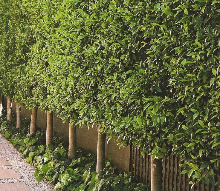 Ficus Hedge - Pleached. A few years and our driveway will look like this. Fast growing, evergreen plant. Love them.