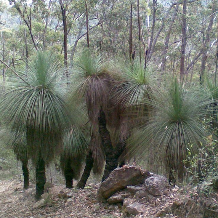 XANTHORRHOEA australis Grass Tree
