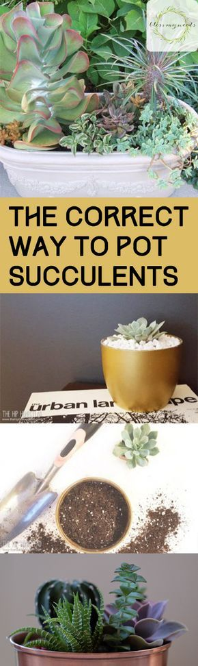 The Correct Way to Pot Succulents - Bless My Weeds| Potted Succulents, Potted Succulent Ideas, How to Pot Succulents, How to Pot and Care for Succulents, Potted Succulent Care, Indoor Gardening, Popular Pin