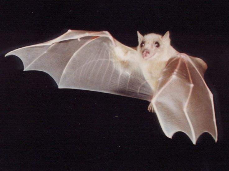 images of bats flying | Bill Bat Boy: Bat & Rodent Exclusions and Lectures for the Toronto and ...