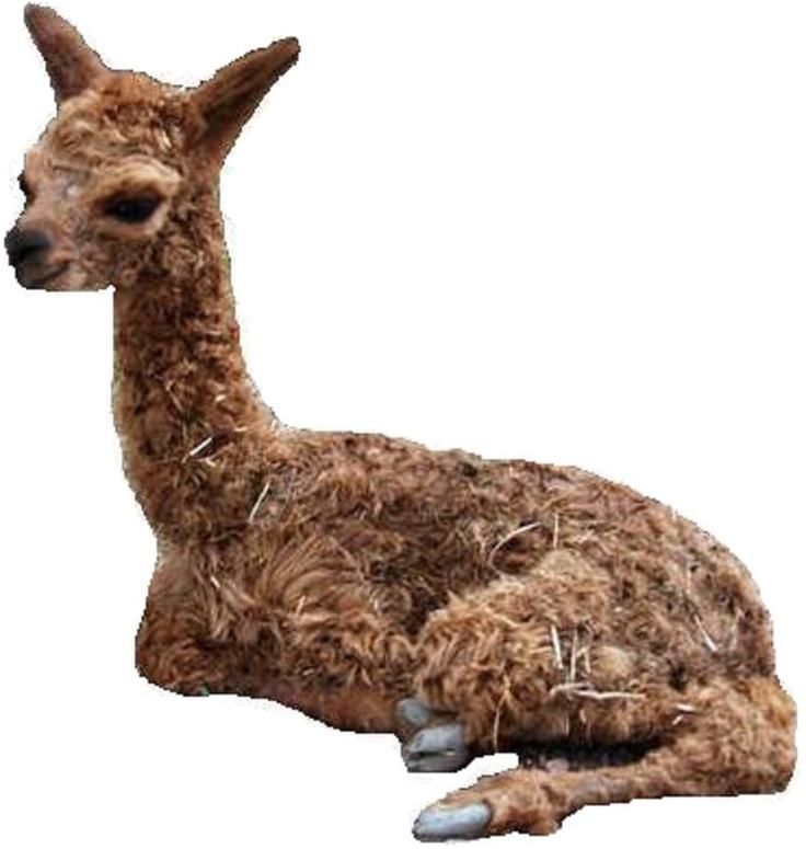 Our Alpaca Herucles as a cria