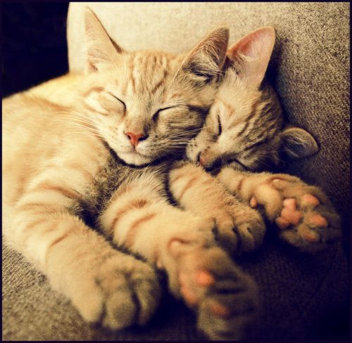 two orange tabbies napping together