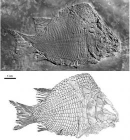 First-known ginglymodian fish found from the middle triassic of Eastern Yunnan Province, China. Kyphosicthys grandei.