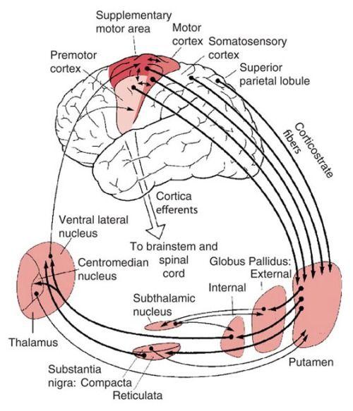 Basal ganglia anatomy