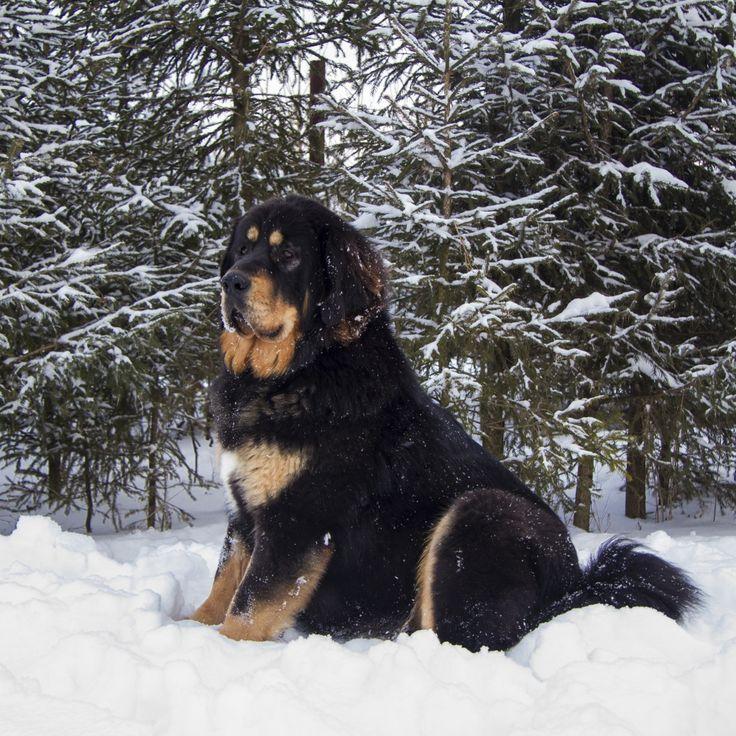 les 20 meilleures id es de la cat gorie chien dogue du tibet sur pinterest chiots dogue du. Black Bedroom Furniture Sets. Home Design Ideas