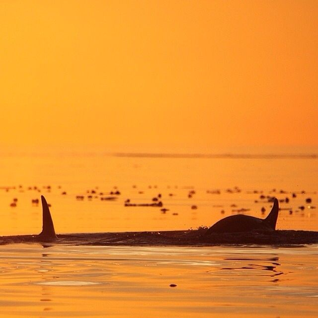 The unmistakable shape of two Orca fins rising out of the water and a spectacular Tofino sunset. Thanks to the @tofinowhalecentre for this great capture! #explorebc #exploreCanada