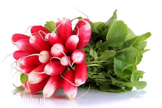 Rzodkiewka Flamboyant – bardzo smaczna odmiana w typie paluszkowatym - Rynek Rolny