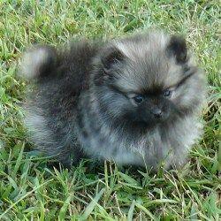 Pomeranian Breeders Pomeranian puppies for sale
