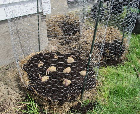 If you eat a lot of potatoes, you'll want to read this one. This super easy afternoon project can end up feeding you and your family for weeks and only requires minimal care. What's even better is that this potato tower can last throughout the growing season. Start one tower in spring to have potatoes …