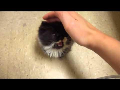 Hypothyroid Dwarf Kitten Project - YouTube
