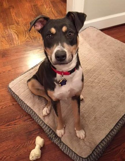 "Meet Blue, Mix Breed- American Terrier/Beagle mix Dog For Adoption in ATLANTA GA Request to Adopt Blue Here There is a $100 adoption/rehoming fee. Supplies and veterinary records will be included. Questions about Blue?? Text ""Blue"" to (888) 833-2128 or email AdoptBlue@dog-lover.   #AmericanTerriers #Atlanta #Beagles"