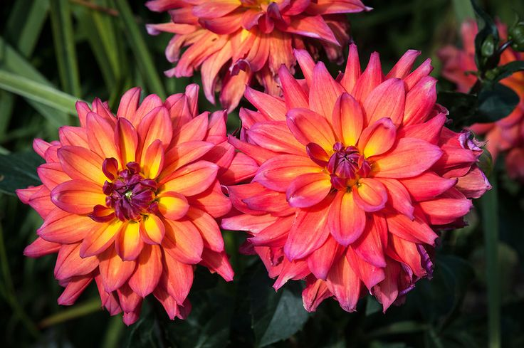 Dahlia 'Fire Pot', early August. An orange-pink small- to medium-flowered waterlily dahlia.