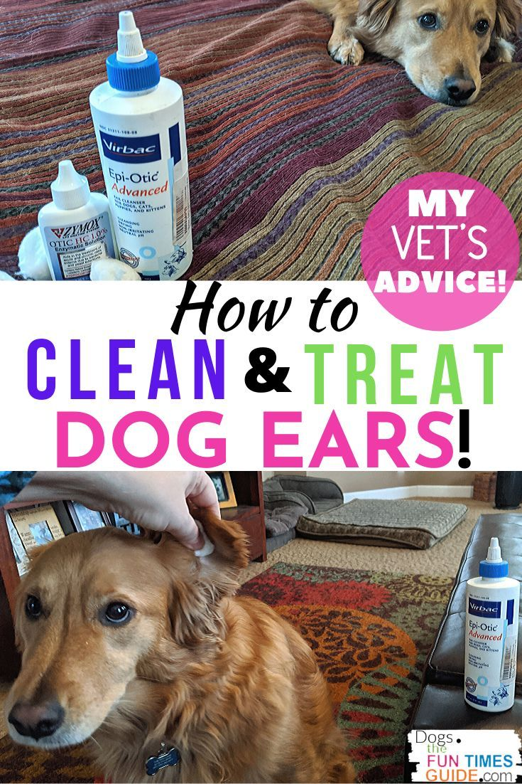 How to clean treat a dogs itchy smelly ears vet