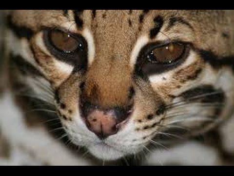Life of wildcats Full Documentary 2016