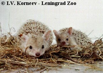 Long-eared Hedgehogs