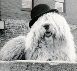 Humphrey, the Old English Sheepdog, looking ever so English in his Bowler. RIP Sweet Boy...