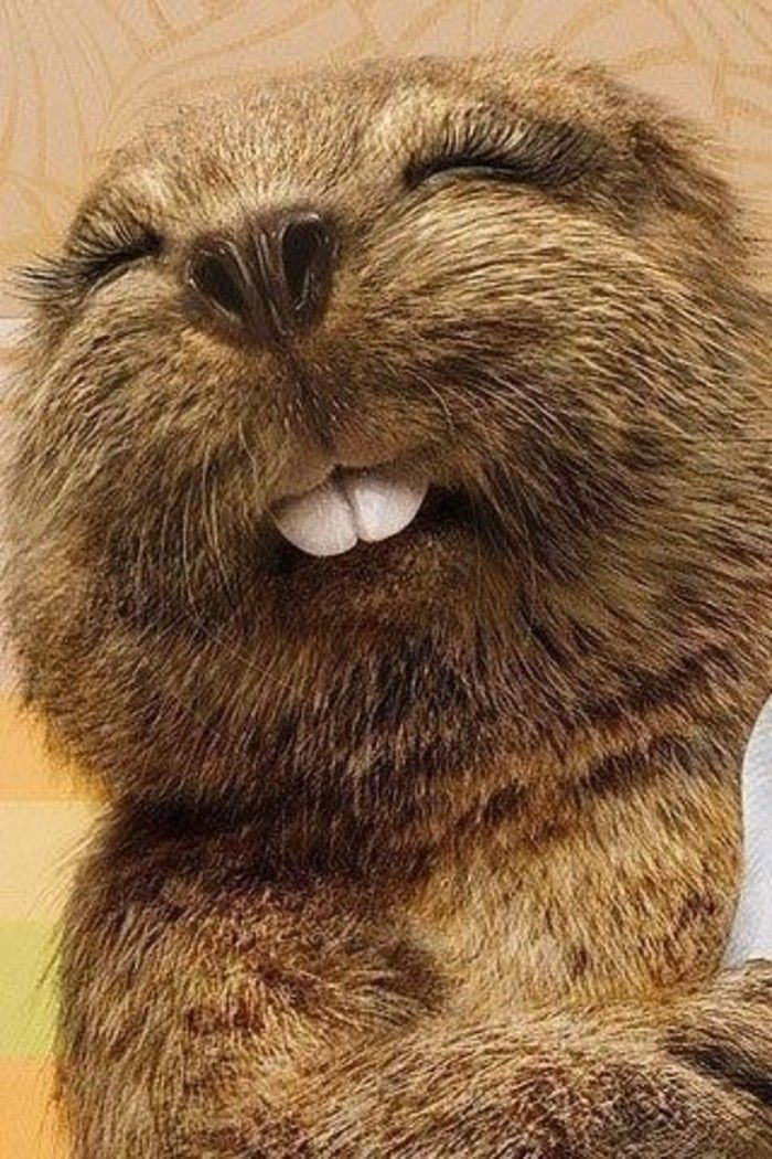 A beaver's teeth never stop growing. It needs to chew on ...