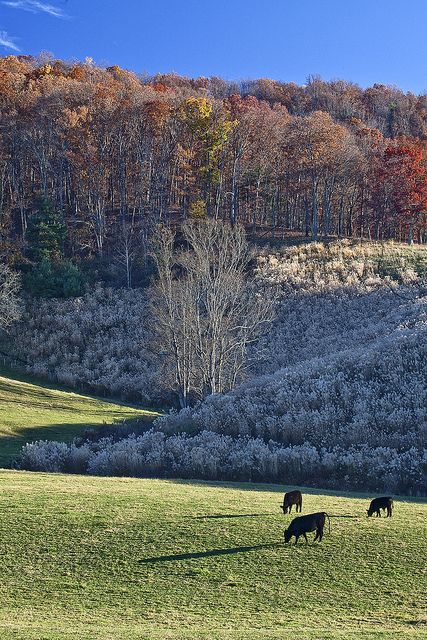 More cows in Autumn Barnardsville, NC