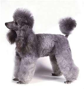 The poodle as a pet
