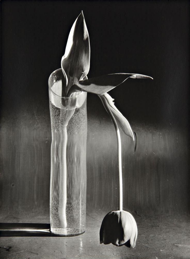 © André Kertész, 1939, Melancholic Tulip --- Happy Valentine's Day --- more flowers: http://blog.burnedshoes.com/post/76624521195/flowers