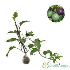 Tanaman Markisa (Passion Fruit)