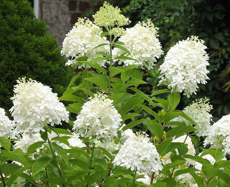 Pee gee hydrangea large cone shaped white for Large flowering shrubs