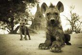 Good luck, Ryan!  #Eyetoeye #photo #competition #heat02 #Top30 #vote #safarious by Ryan Green #hyenacubs #babyanimals #Safari #Africa #Botswana  #WildernessSafaris