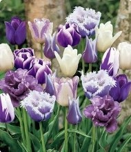 Purple Passion Mix Tulip Seed Pack
