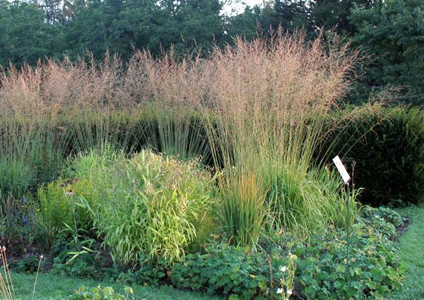 239 best Grser Grasses images on Pinterest Ornamental grasses