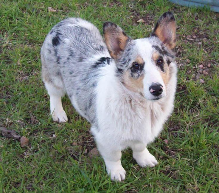 corgi mix | pets | Pinterest | Corgi mix puppies, Coloring ...