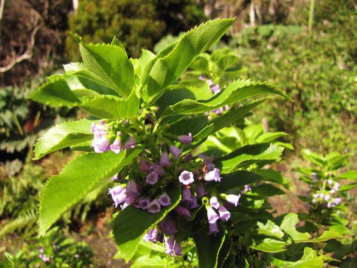 """Conoces este pequeño arbusto endémico de la isla Robinson Crusoe? Se trata de Cuminia eriantha, una especie en """"Peligro Crítico"""" que en el año 2006 tenía solo 46 individuos y muy poca regeneración natural. Las especies exóticas son su principal enemigo.  Ayúdanos a difundir https://www.facebook.com/RescatemosJuanFernandez"""