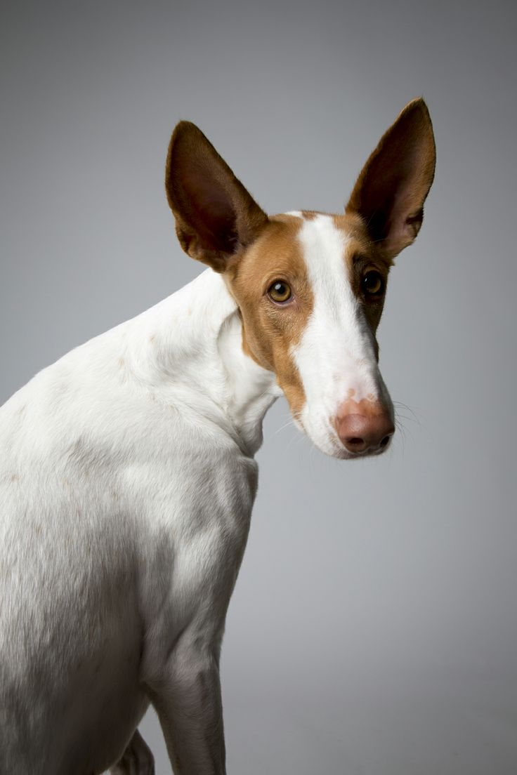 ibizan hound photo | Slide Show: Portraits from Westminster Dog Show : The New Yorker