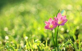 Обои цветы, боке, лепестки, розовые цветы, природа, трава