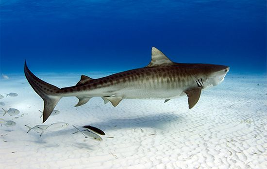 Shark Record Breakers | Sharkopedia