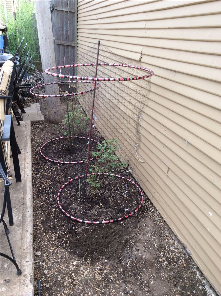 Hula hoops and bird netting to protect the blueberry bushes.