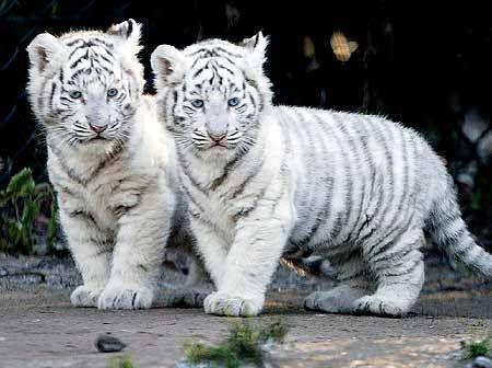 tigritos