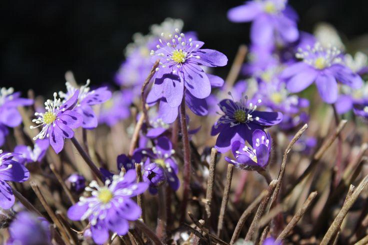 finland spring flowers