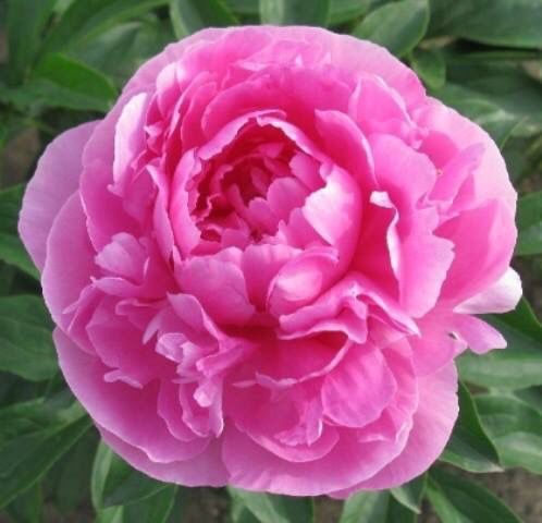 June Rose Peony Have To Love This As It Is My Name And My