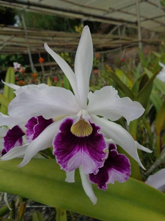 L. purpurata (Schusteriana X Aco do Clito)