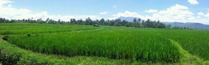Padi Fields.. West Sumatra..
