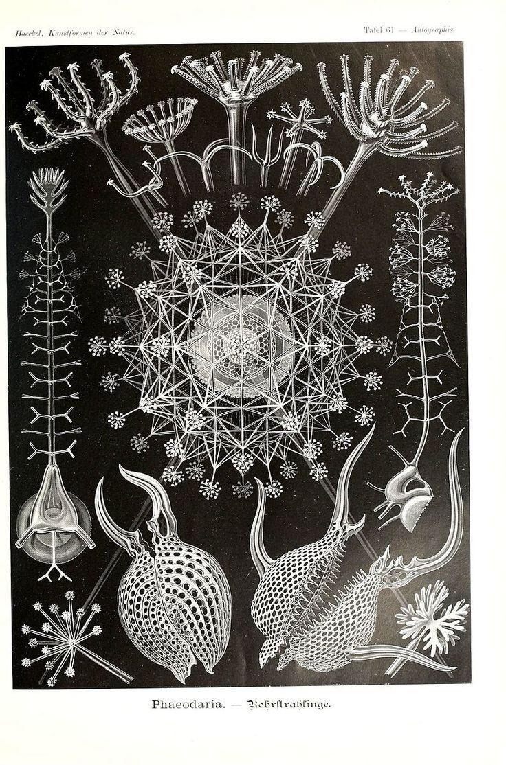 File:Kunstformen der Natur (Tafel 61) (6197843668).jpg