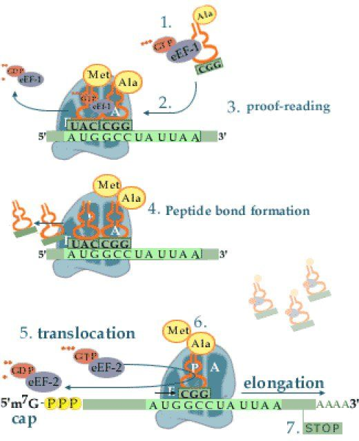 The second stage of protein translation - elongation. This occurs after initiation, where the start codon (always AUG) is identified on the mRNA chain.