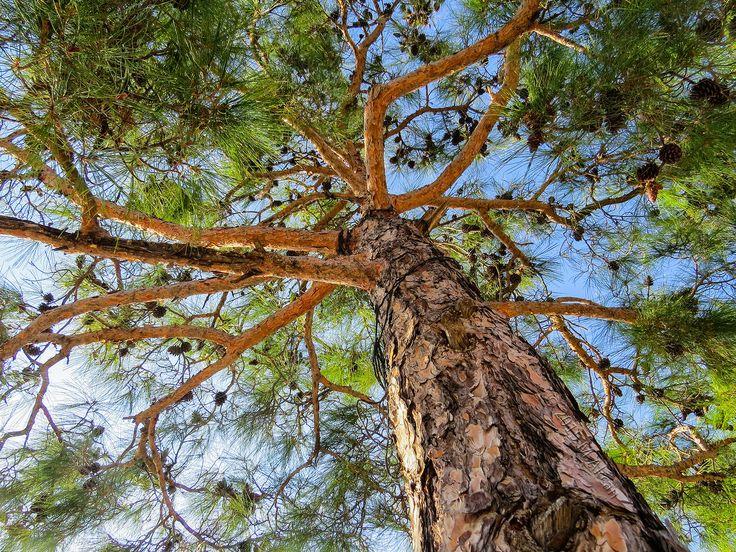 https://flic.kr/p/RkPoXU | Çam ağacı | 2015-12-20 14.58.26_IMG_1228
