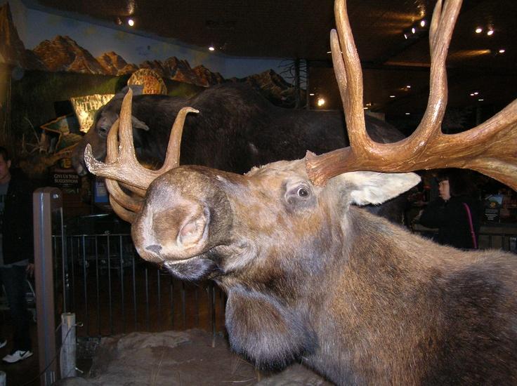 Calgary - A reindeer in a mall.