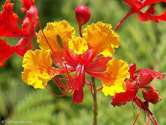 8 best plantas medicinales images on pinterest medicinal plants red bird of paradise caesalpinia pulcherrima 10 seeds small fluffy tree zones 8 to 10 drought tolerant loves desert heat showy blooms mightylinksfo