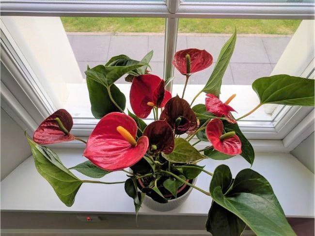 7 Ways To Make Your Flamingo Flower Bloom If Your Anthurium Is Not Flowering You Can Follow These Simple Ste In 2020 Anthurium Plant Flowering House Plants Anthurium