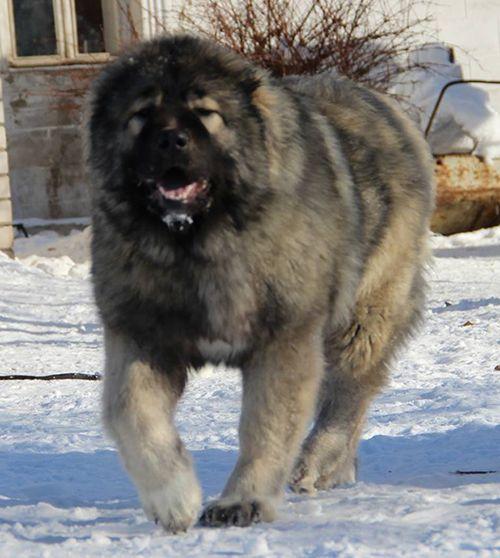 Fivehills Kennel Caucasian dog
