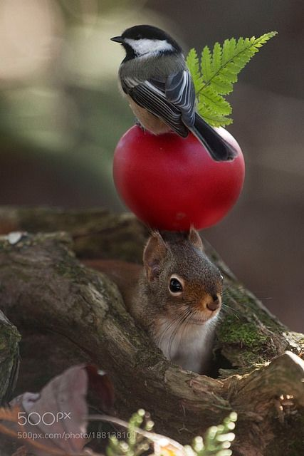 Red apple Berry --- squirrel and bird