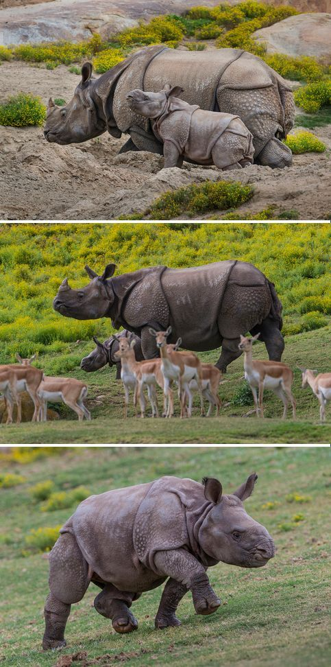A 9-week-old greater one-horned rhino calf made her debut at the San Diego Zoo Safari Park today, under the watchful eye of her attentive mother. The pair came out of the Park's maternity corral, and mother Alta led her calf around the Safari Park's 40-acre Asian Plains habitat. While the calf walked, a layer of young, pink skin could be spied underneath the folds of her thickening, armor-like, dark gray top layer of skin.